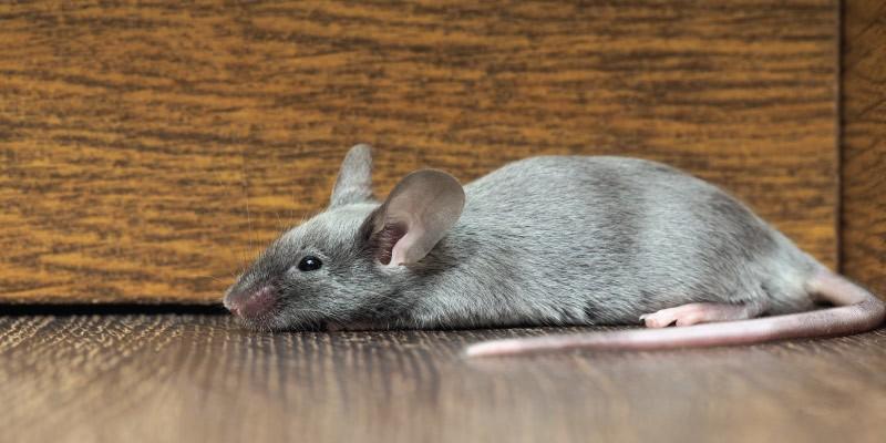 comment pr venir les infestations de souris r m b extermination inc. Black Bedroom Furniture Sets. Home Design Ideas